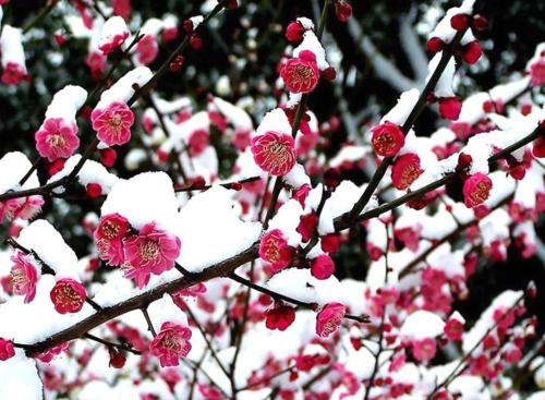 你见过在雪中盛开的梅花吗?你喜欢吗?图片