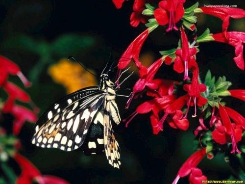 传说远古有一种蝶 名为卡申夫鬼美人凤蝶 左翼为美人颠倒众生&
