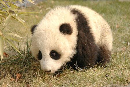 可爱的熊猫宝宝(转载)