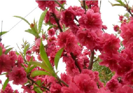 红色桃树风景图片