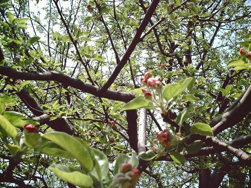 苹果树开花了_aaaaa_新浪博客